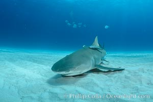 Lemon shark. Bahamas, Negaprion brevirostris, natural history stock photograph, photo id 32028