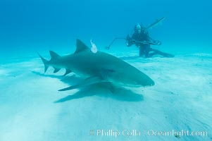 Lemon shark and photographer Ken Howard, Negaprion brevirostris