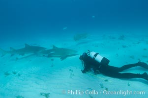 Lemon shark and photographer Bruce Watkins, Negaprion brevirostris