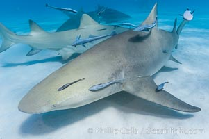 Lemon shark with live sharksuckers, Negaprion brevirostris, Echeneis naucrates