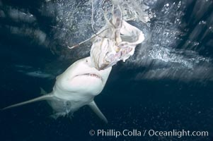 Lemon shark prepares to chomp a piece of bait, photographed with a polecam (camera on a stick triggered from above water, used by photographers who are too afraid to get in the water), Negaprion brevirostris