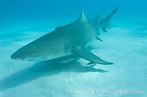 Lemon shark. Bahamas, Negaprion brevirostris, natural history stock photograph, photo id 10807