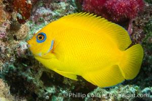 Lemonpeel Angelfish, Centropyge flavissima, Lemonpeel Dwarf Angelfish, Fiji, Centropyge flavissima, Namena Marine Reserve, Namena Island