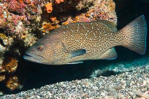 Leopard grouper Mycteroperca rosacea,  Sea of Cortez, Punta Alta, Baja California, Mexico