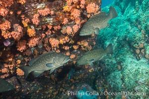 Leopard grouper Mycteroperca rosacea,  Sea of Cortez