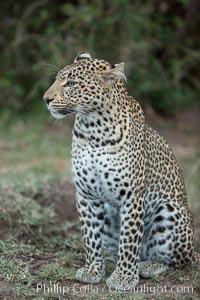 Leopard, Olare Orok Conservancy, Kenya. Olare Orok Conservancy, Kenya, Panthera pardus, natural history stock photograph, photo id 30043
