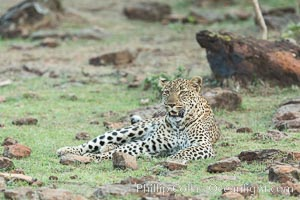 Leopard, Olare Orok Conservancy, Kenya. Olare Orok Conservancy, Kenya, Panthera pardus, natural history stock photograph, photo id 30082