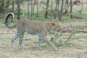 Leopard, Olare Orok Conservancy, Kenya. Olare Orok Conservancy, Kenya, Panthera pardus, natural history stock photograph, photo id 30086