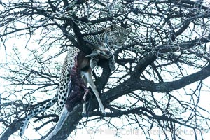 Leopard with kill in tree at night, Panthera pardus, Olare Orok Conservancy