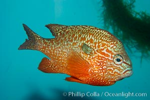 Longear sunfish, native to the watersheds of the Mississippi River and Great Lakes., Lepomis megalotis, natural history stock photograph, photo id 09801