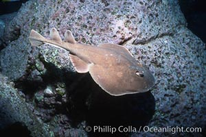 Lesser electric ray, Narcine entemedor, Socorro Island (Islas Revillagigedos)