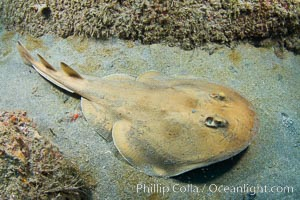 Lesser electric ray, Sea of Cortez, Baja California, Mexico, Narcine entemedor