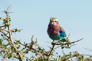Lilac-breasted roller. Meru National Park, Kenya, Coracias caudatus, natural history stock photograph, photo id 29696