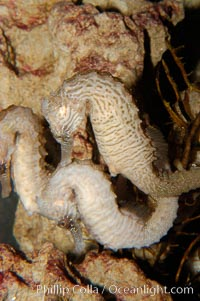 Lined seahorse., Hippocampus erectus, natural history stock photograph, photo id 09425