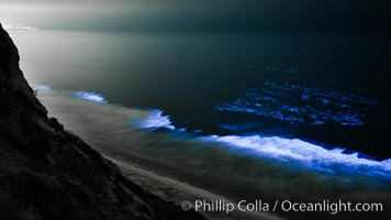 Bottlenose dolphins swim through red tide, hunt a school of fish, lit by glowing bioluminescence caused by microscopic Lingulodinium polyedrum dinoflagellate organisms which glow blue when agitated at night, Lingulodinium polyedrum, La Jolla, California