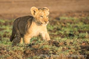Lion cub, Maasai Mara National Reserve, Kenya, Panthera leo