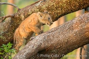 Lion cub in a tree, Maasai Mara National Reserve, Kenya. Maasai Mara National Reserve, Kenya, Panthera leo, natural history stock photograph, photo id 29874