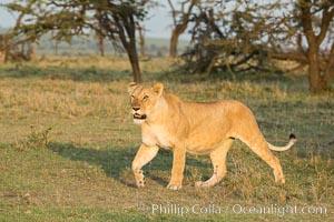 Lion, Olare Orok Conservancy, Kenya, Panthera leo