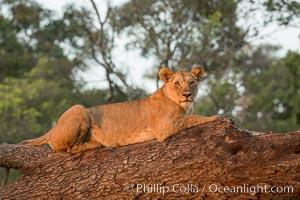 Lion in a tree, Maasai Mara National Reserve, Kenya. Maasai Mara National Reserve, Kenya, Panthera leo, natural history stock photograph, photo id 29871