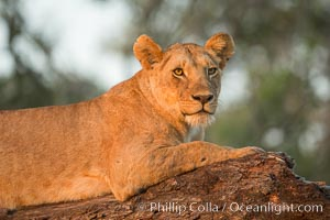 Lion in a tree in warm light at sunrise, Maasai Mara National Reserve, Kenya, Panthera leo