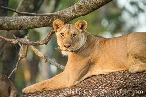 Lion in a tree, Maasai Mara National Reserve, Kenya, Panthera leo