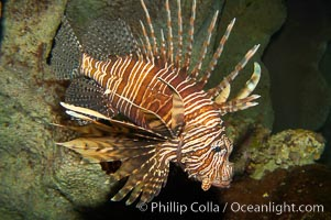 Lionfish., Pterois volitans, natural history stock photograph, photo id 12928