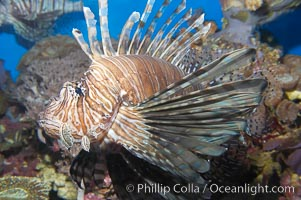 Lionfish., Pterois miles, natural history stock photograph, photo id 14509