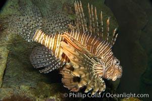 Lionfish, Pterois volitans