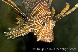 Image 12932, Lionfish., Pterois volitans, Phillip Colla, all rights reserved worldwide. Keywords: animal, creature, dangerous, fish, fish anatomy, indo-pacific, lionfish, lionfish or turkeyfish, marine, marine fish, nature, ocean, pterois volitans, sea, spine, teleost fish, turkeyfish, underwater, venom, venomous, wildlife.