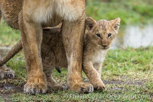 Lionness and two week old cub, Maasai Mara National Reserve, Kenya, Panthera leo