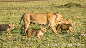Lionness and cubs, Maasai Mara National Reserve, Kenya. Maasai Mara National Reserve, Kenya, Panthera leo, natural history stock photograph, photo id 29930