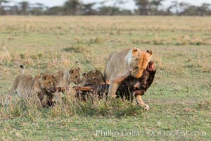 Lionness and cubs with kill, Olare Orok Conservancy, Kenya, Panthera leo