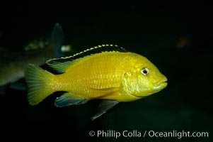 Lions cove yellow labido., Labidochromis, natural history stock photograph, photo id 11003
