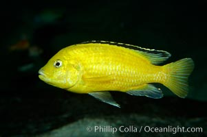 Lions cove yellow labido, Labidochromis
