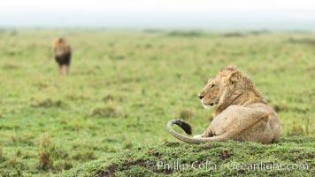 Lions, Maasai Mara National Reserve, Kenya. Maasai Mara National Reserve, Kenya, Panthera leo, natural history stock photograph, photo id 29861