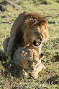 Lions mating, Maasai Mara National Reserve, Kenya, Panthera leo