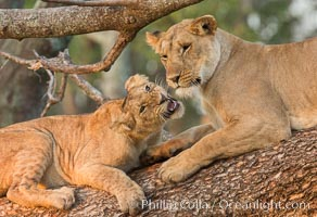 Lions in a tree, Maasai Mara National Reserve, Kenya, Panthera leo