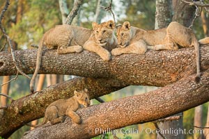 Lions in a tree, Maasai Mara National Reserve, Kenya, Panthera leo