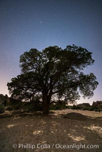 Live Oak and Stars at night, backlit by a full moon, Joshua Tree National Park, California