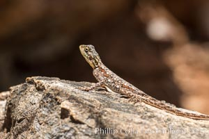 Lizard, Meru National Park, Kenya
