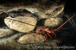 A California spiny lobster sits amid four red abalone on a shale reef shelf, Panulirus interruptus, Haliotis rufescens, San Diego