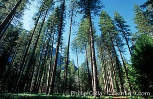 Lodgepole pine trees, Yosemite Valley, Pinus contortus, Yosemite National Park, California
