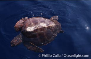 Juvenile loggerhead turtle basking at surface, Caretta caretta, Sao Miguel Island