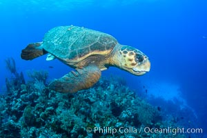 Loggerhead turtle, Caretta caretta, Grand Cayman Island. Grand Cayman, Cayman Islands, natural history stock photograph, photo id 32135