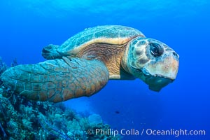 Loggerhead turtle, Caretta caretta, Grand Cayman Island. Grand Cayman, Cayman Islands, natural history stock photograph, photo id 32137