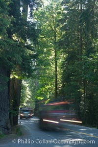 Logging truck speeding through Cathedral Grove.  Cathedral Grove is home to some huge, ancient, old-growth Douglas fir trees.  About 300 years ago a fire killed most of the trees in this grove, but a small number of trees survived and were the originators of what is now Cathedral Grove, MacMillan Provincial Park, Vancouver Island, British Columbia, Canada