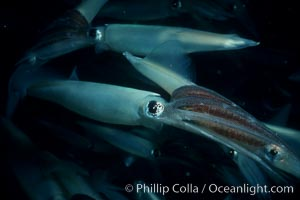 Squid mating, Loligo opalescens, La Jolla, California