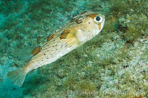 Long-spine porcupine fish, Sea of Cortez, Baja California, Mexico. Sea of Cortez, Baja California, Mexico, Diodon holocanthus, natural history stock photograph, photo id 27483