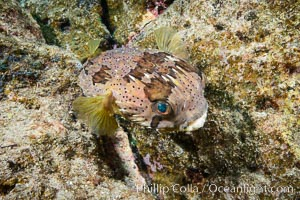 Long-spine porcupine fish, Los Islotes, Sea of Cortez