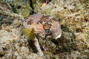 Long-spine porcupine fish, Los Islotes, Sea of Cortez